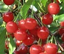 Cherries from Hartford Michigan