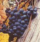 Grapes from McFarland Farms - Hartford Michigan